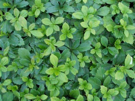 evergreen ground cover evergreen ground cover plants www pixshark com images galleries with a bite