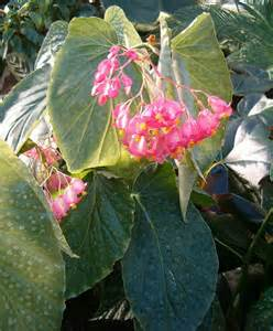 wing begonia care how to grow angel wing begonia plant houseplant 411 how to identify and care for houseplants