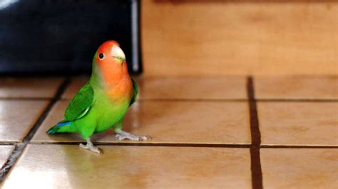 gabbie per pappagalli inseparabili inseparabile facciarosa agapornis roseicollis animali