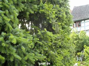 Bis Wann Hecke Schneiden : fichtenhecke pflanzen und schneiden ~ Frokenaadalensverden.com Haus und Dekorationen