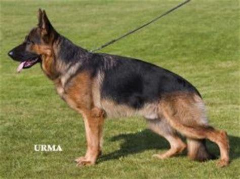 deutscher schaeferhund zwinger von der roemerhalde