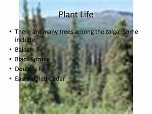 Life In The Taiga : the taiga biome by brandon bell ppt video online download ~ Frokenaadalensverden.com Haus und Dekorationen