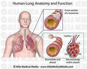 Labeled Diagram Of The Aqua Lung : alila medical media human lung anatomy and function ~ A.2002-acura-tl-radio.info Haus und Dekorationen