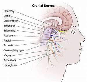 Trigeminal Nerve Chart Remembering Cranial Nerves Cheat Sheet By Davidpol