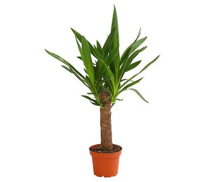 yucca palme ableger yucca palme dehner garten center