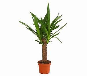 Yucca Palme Blüht : yucca palme dehner garten center ~ Lizthompson.info Haus und Dekorationen