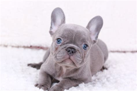 View Ad French Bulldog Puppy For Sale Washington Seattle Usa