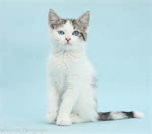White Tabby Cat with Blue Eyes
