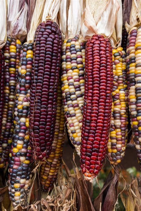 Indian corn stock photo. Image of plant, variegated, maize ...