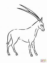 Oryx Coloring Pages Springbok Drawing Clipart Antelope Printable Crafts Categories Animals sketch template