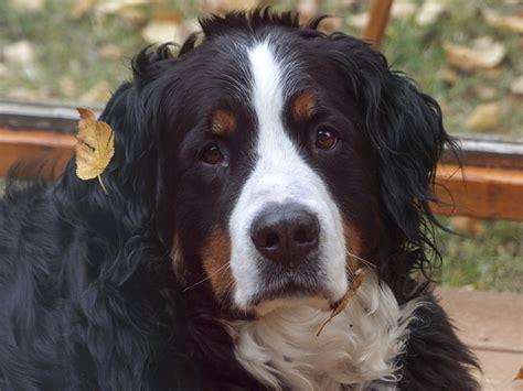 bernese mountain dog head portrait  photo  pixabay