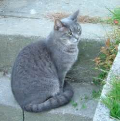 gray cats rushwater gray tom with green apprenitce is graypaw