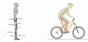 Rigid Body Model With Leg Muscles And Bike Rider System