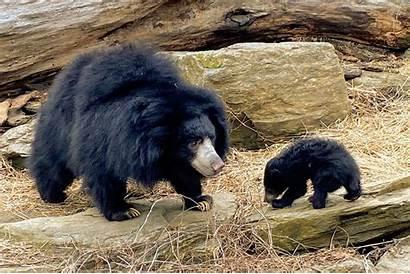 Sloth Bear Cub Zoo Philadelphia Would Mother