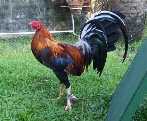 Character depended from this chicken type is complaint chicken type in style compete like burma chicken however own large zise & blow resilience that more delay like brasilia chicken. 13 Ciri ciri Ayam Peru yang Asli dan Berkualitas - ArenaHewan.com