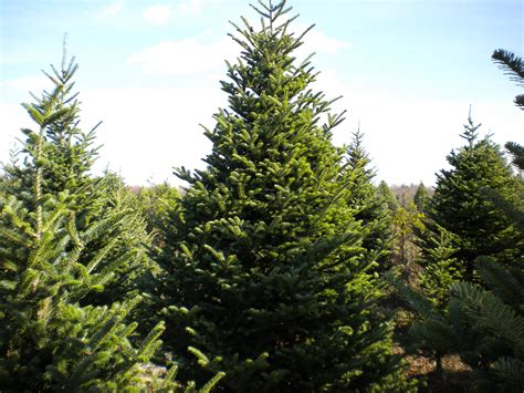 28 best you cut christmas trees michigan christmas