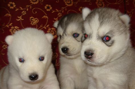 The Gallery For Pomeranian Husky Mix full Grown
