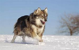 Wolf Like Dog Breeds: Pursuing Your Canine's Ancestral ...