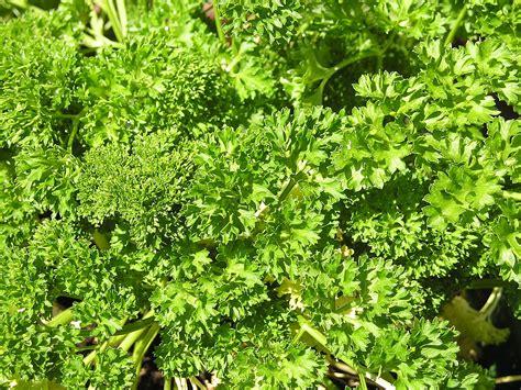 plantes aromatiques cuisine fines herbes
