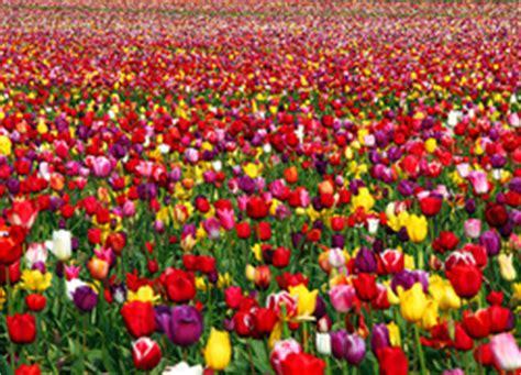amsterdamse bloemen tulpen tulpenbollenactie voor bouw indiase meisjesschool