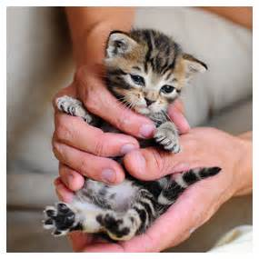 cats that stay small cafechoo image what cats stay small