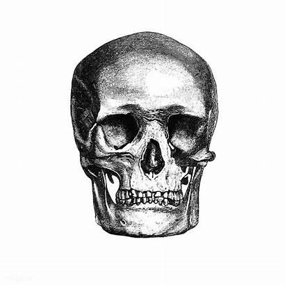 Skull Human Rawpixel Overlay Sticker Transparent Engraving