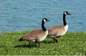 A Goose Looking For Her Gander | Country Claire Cares