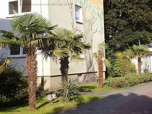 Trachycarpus Fortunei Auspflanzen : leverkusen rheindorfer palmen 2013 1 ver ffentlicht am ~ Eleganceandgraceweddings.com Haus und Dekorationen