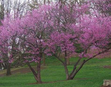 eastern rosebud tree the gallery for gt redbud tree