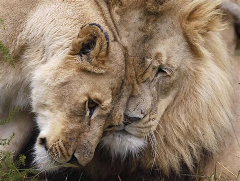 africas lions endangered  controversial canned