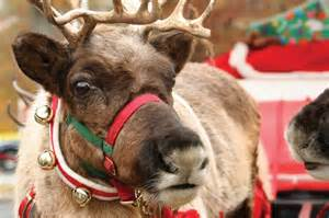 reindeer games 9 fun facts about santa s favorite animal hop to pop