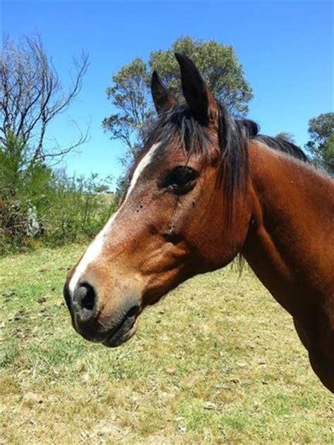quarter horse cross arab horses