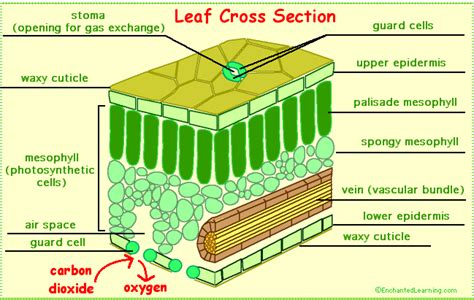 leaf structure and its functions photosynthesis