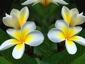 Plumeria, Yellow, White, Flowers, Green, Leaf