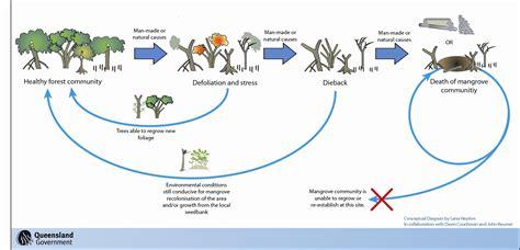 mangrove community dynamics ozcoasts