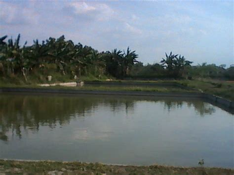 Harga Bibit Ikan Gurame Air Tawar toko hantech madiun agen bibit ikan air tawar
