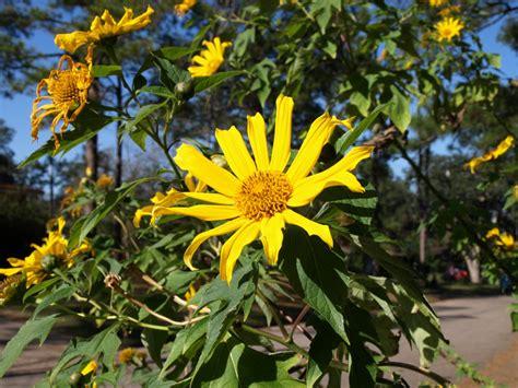 when do perennials return sunflowers are a good idea 187 lawn garden