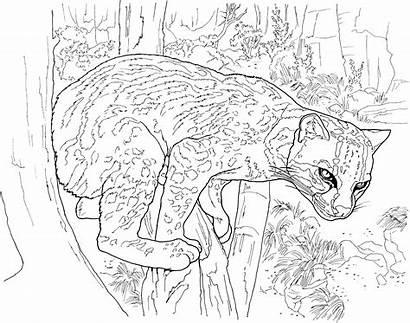 Leopard Coloring Pages Cougar Puma Snow Printable