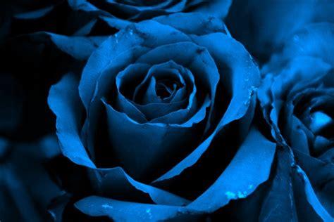 bunga mawar biru syubidu