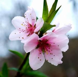 Korean Cherry Blossoms by SoCallMeNothing on DeviantArt