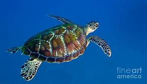 A Black Sea Turtle Off The Coast Photograph by Michael Wood