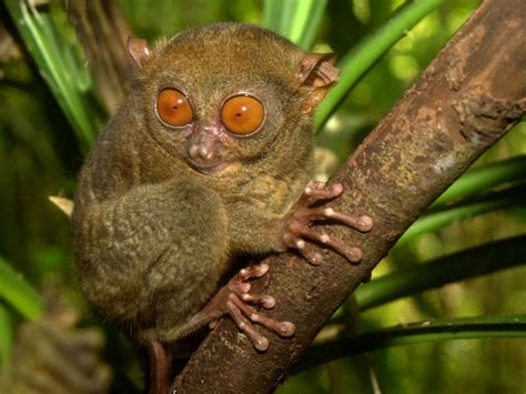 Tarsier Pictures and Wallpapers