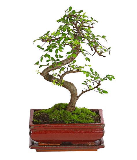 chinesische ulme bonsai bonsai chinesische ulme 8 jahre dehner