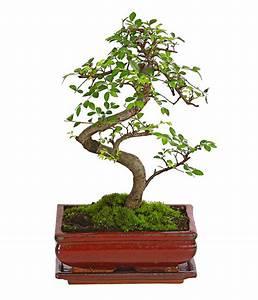 Bonsai Chinesische Ulme : bonsai chinesische ulme 8 jahre dehner ~ Sanjose-hotels-ca.com Haus und Dekorationen