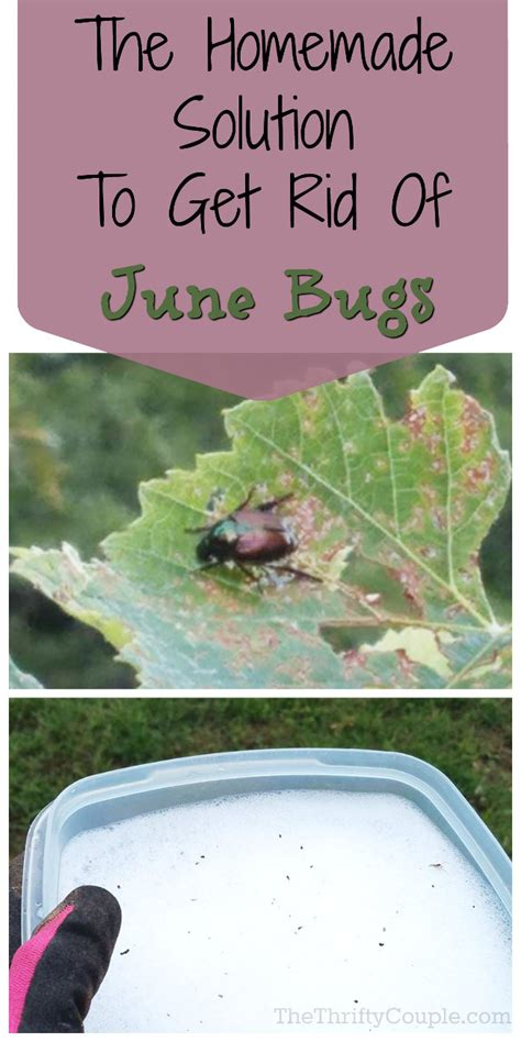 How To Get Rid Of June Bugs On My Porch by Solution To Get Rid Of June Bugs And Stop Them