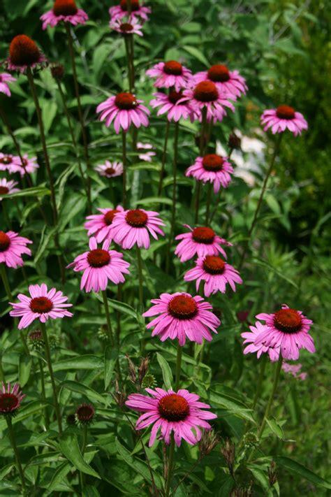 how to grow coneflowers seven oaks home and garden joy growing coneflowers