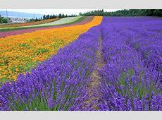 你知道法国的薰衣草之乡普罗旺斯吗? 法国百科