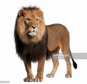 Lion Stock Photos and Pictures | Getty Images