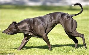 Wendy the Whippet, a mutant double muscled dog, has ...