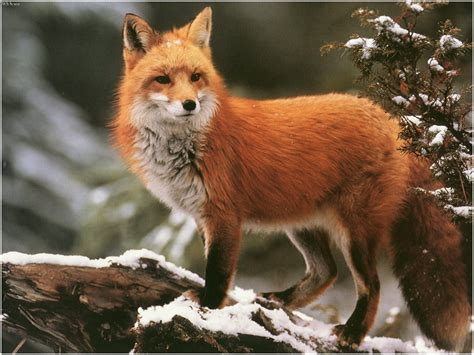 Fox Animal Wallpaper - foxes wallpapers animals library